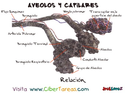 Relacion Aveolos y Capilares Respiratorio - Ciencias de la Salud_1