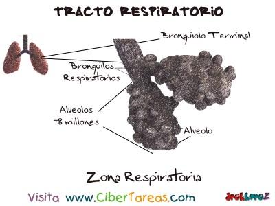 Zona Respiratoria del Tracto Respiratorio - Ciencias de la Salud_1