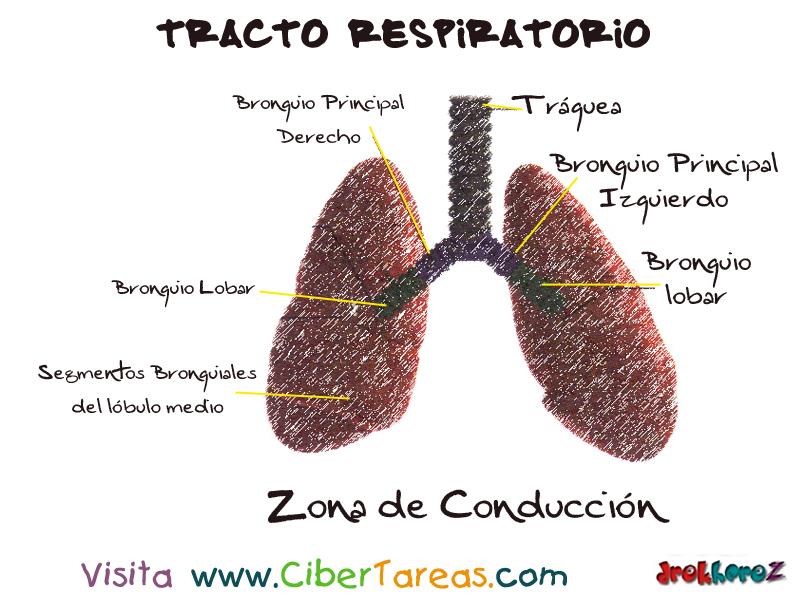 Pulmones del Tracto Respiratorio Inferior – Ciencias de la Salud_1 ...