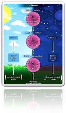 influencia del sol en la tierra ciclo cardiaco