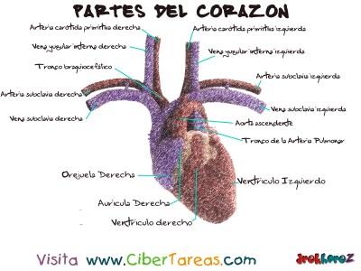 Partes del Corazon  - Ciencias de la Salud_1