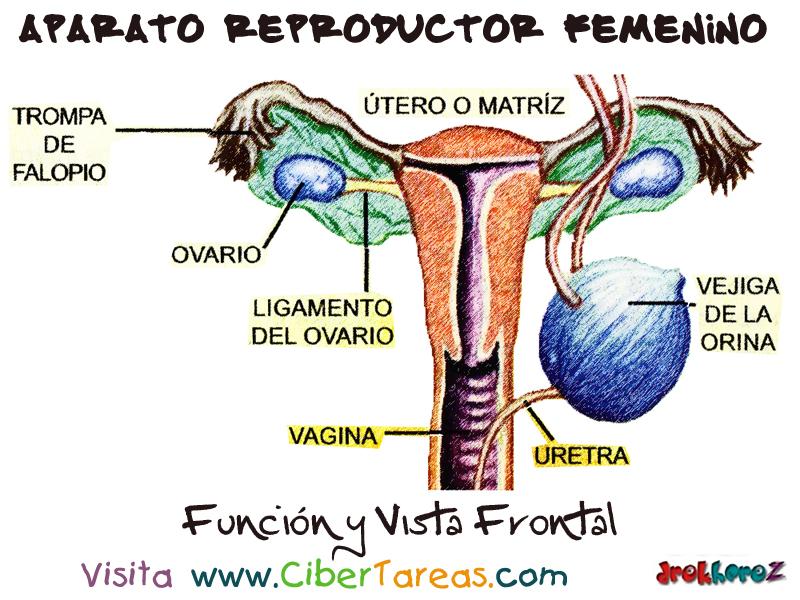 Función y Vista Frontal – Aparato Reproductor Femenino | CiberTareas