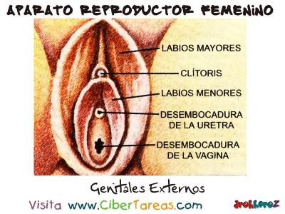 Genitales Externos - Aparato Reproductor Femenino