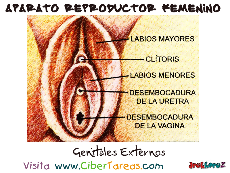 Genitales Externos – Aparato Reproductor Femenino | CiberTareas