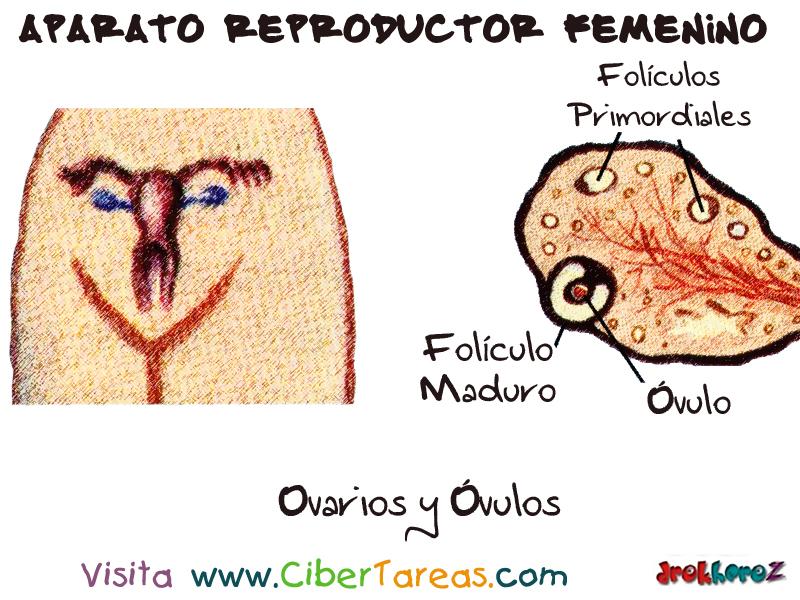 Ovarios y Óvulos – Aparato Reproductor Femenino | CiberTareas