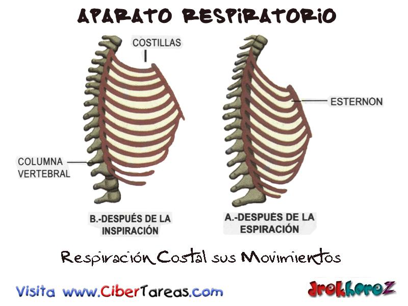Respiración y sus Movimientos – Aparato Respiratorio | CiberTareas