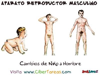 Cambios de Niño a Hombre - Aparato Reproductor Masculino