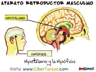 Hipotalamo y la Hipofisis- Aparato Reproductor Masculino