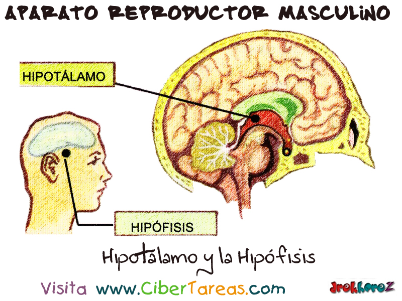 Las Hormonas, el Hipotálamo y la Hipófisis – Aparato Reproductor ...