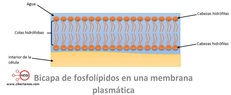 bicapa de fosfolipidos en una membrana plasmatica