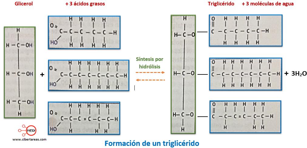formacion de un triglicerido