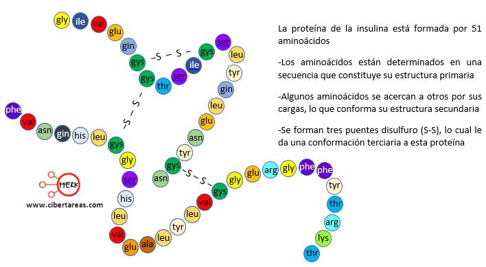 proteina de la insulina