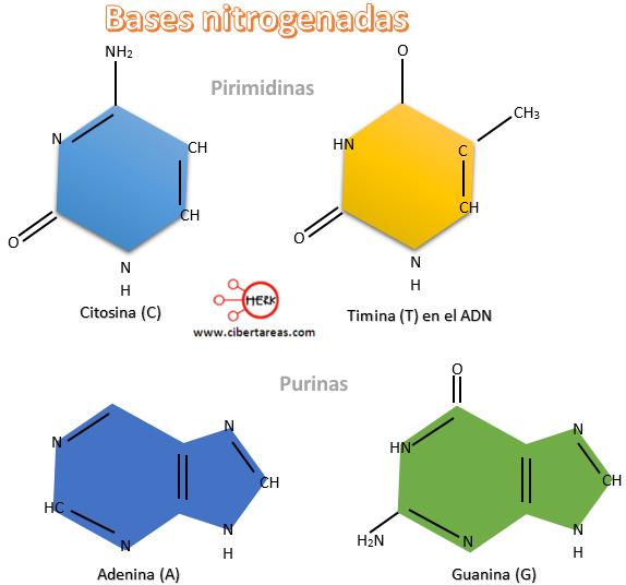 bases nitrogenadas citosina timina adenina guanina