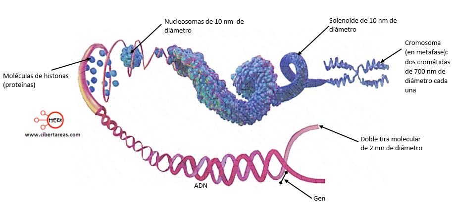 cromosomas y adn concepto partes de los cromosomas partes del adn