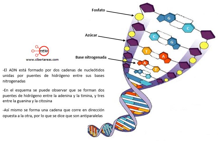 estructura del adn fosfato azucar base nitrogenada