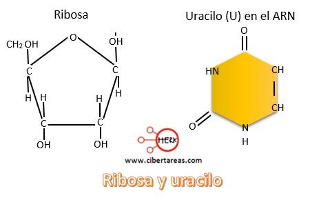 ribosa y uracilo sintesis de proteinas