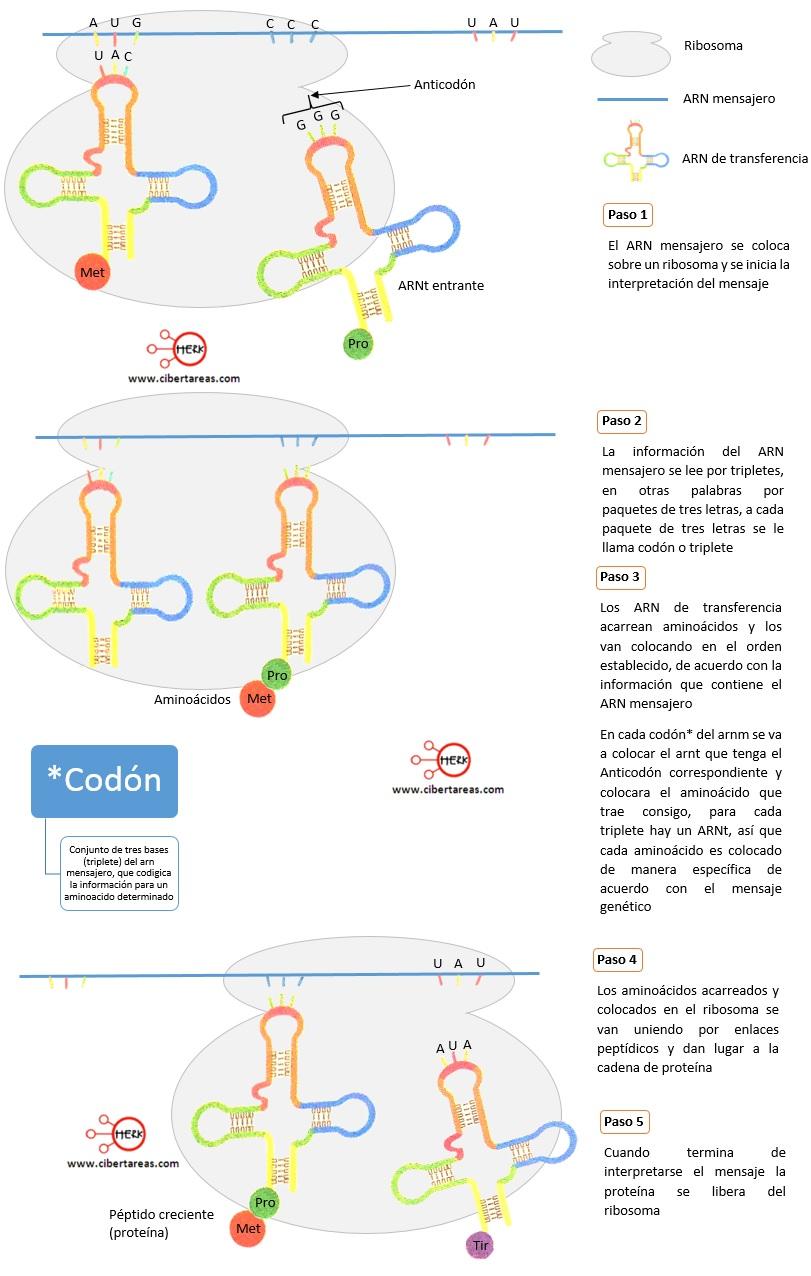 traduccion del arn proceso de la sintesis de proteinas