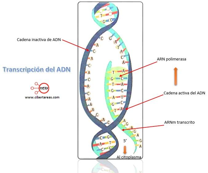 transcripcion del adn