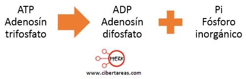 atp adenosin trifosfatico estructura funcion ciclo adp difosfato