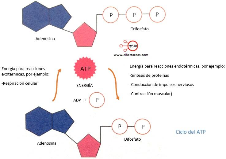 reacciones metabolicas y anabolicas