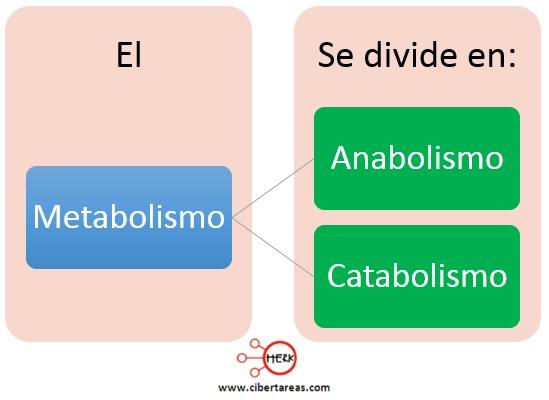 clasificacion del metabolismo anabolismo catabolismo