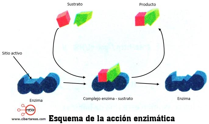 esquema de la accion enzimatica