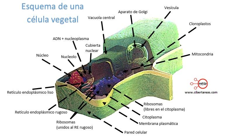 esquema de una celula vegetal