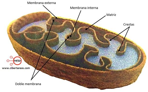 estructura de una mitocondria