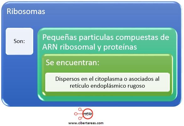 mapa conceptual ribosomas concepto
