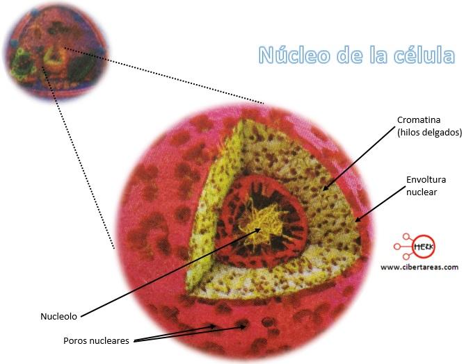 nucleo de la celula partes del nucleo de la celula