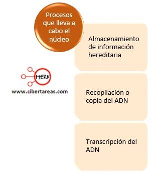 procesos que lleva a cabo el nucleo celular