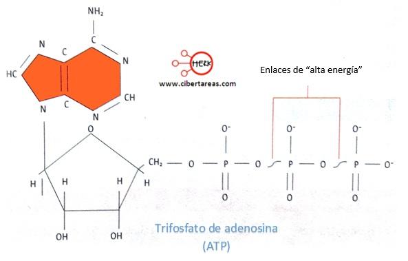 trifosfato de adenosina atp