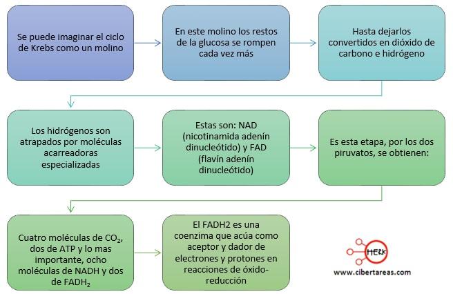 ciclo de krebs principales reacciones del ciclo de krebs