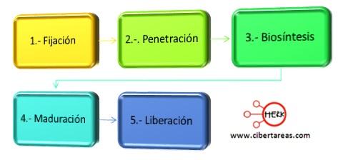 ciclo litico