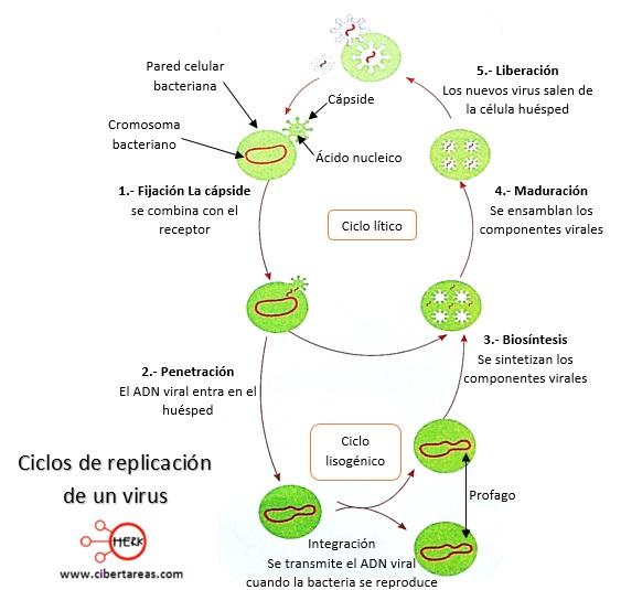 ciclos de replicacion de un vuris