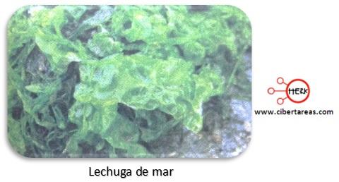 clorofitas o algas verdes lechuga de mar