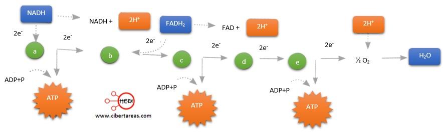 esquema de la cadena de transpote de electrones