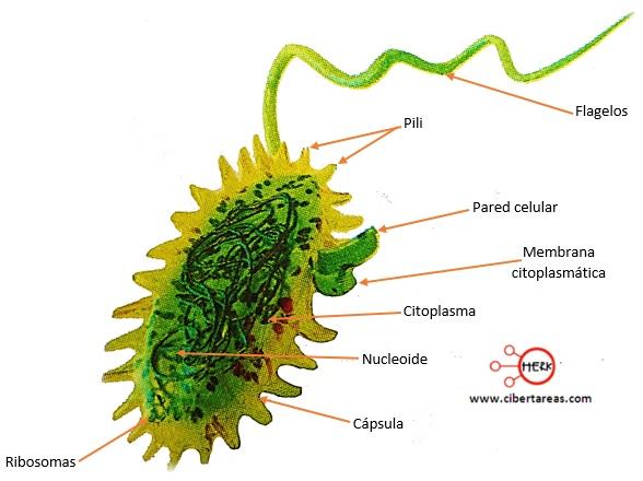 estructura celular de una bacteria