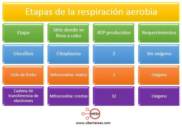Fases de la respiración aerobia – Biología 1 | CiberTareas