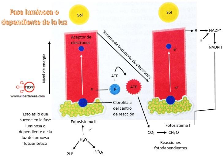 fase luminosa o dependiente de la luz