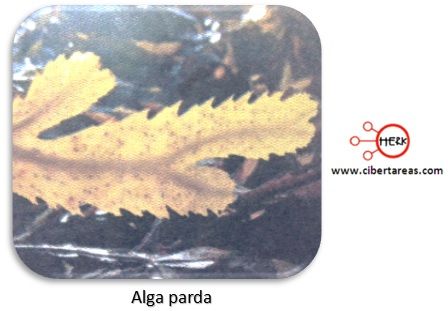 feofitas o algas pardas