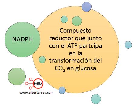 nadph concepto nicotiamida adenina dinocleotido fosfato