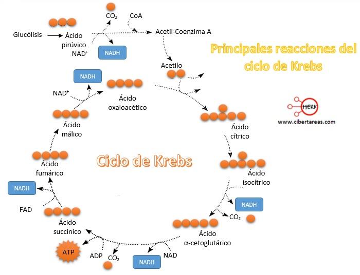 principales reacciones del ciclo de krebs
