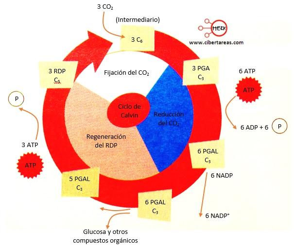 produccion de glucosa