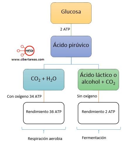 respiracion proceso glucolisis