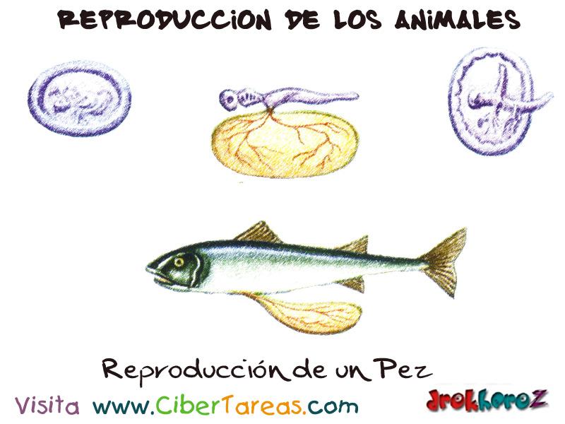 Reproducci n de un pez reproducci n de los animales for La reproduccion de los peces