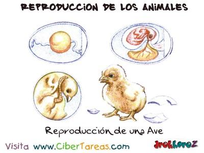 Reproduccion de una Ave - Reproduccion de los Animales