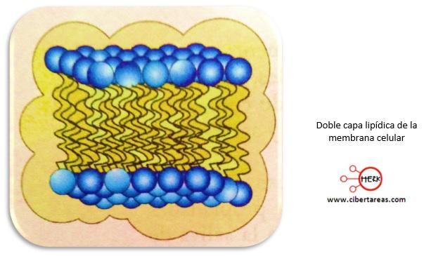 doble capa lipidica memebrana celular