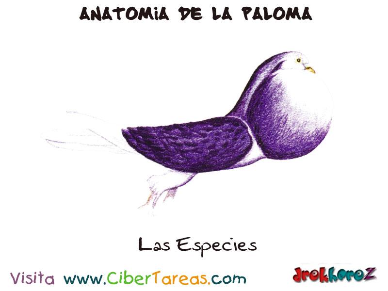 La Paloma y las Diferentes Especies – Anatomia de la Paloma ...