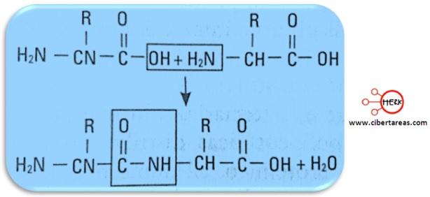 enlace peptidico estrucutra proteina